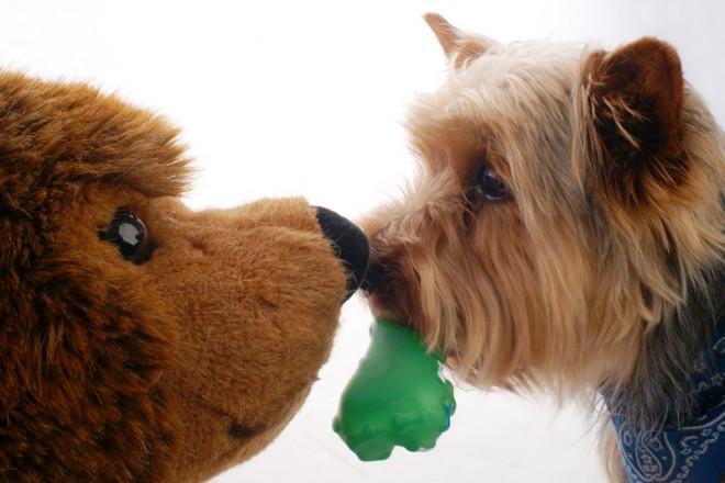 Haustier im Fotostudio: Yorkshire Terrier mit Stofftier