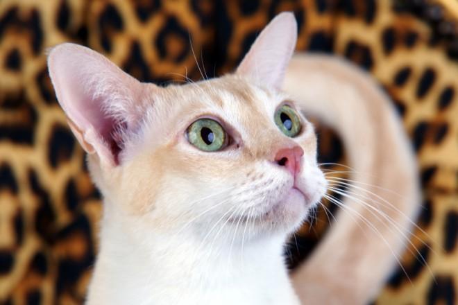 Haustier im Fotostudio: Katze mit grünen Augen