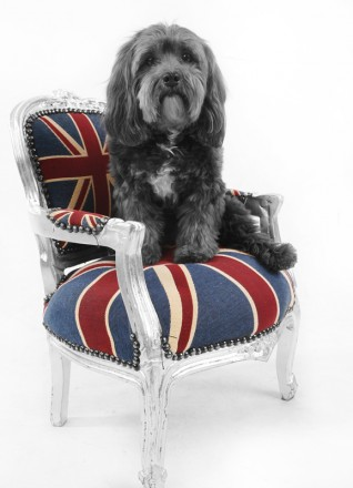 Haustier im Fotostudio: Hund auf Sessel