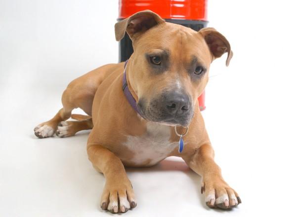 Haustier im Fotostudio: Interessierter Hundeblick