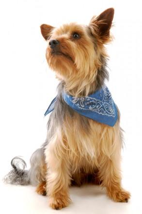 Haustier im Fotostudio: Yorkshire Terrier mit Halstuch