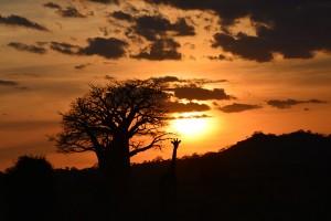Foto Wolff-Foto des Monats Juli 2019: Giraffe vor einem Affenbrotbaum im Gegenlicht, von Michael Joksch