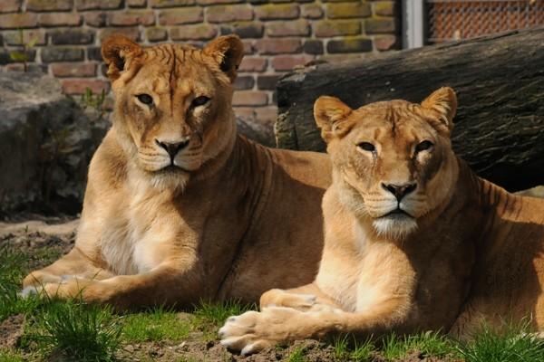 Zwei Löwen im Zoo Duisburg