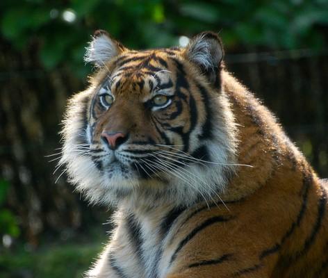 Foto Wolff-Foto des Monats August 2019: ein Tiger, von Birgit Gargitter