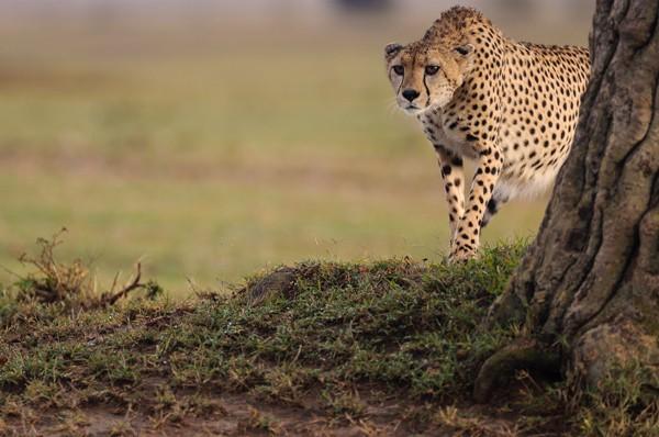 Foto-Wolff-Foto des Monats April 2020: Gepard in der Masai Mara in Kenia, von Kirsten Wolff