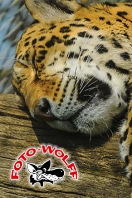 Schlafender Leopard - ein Foto aus dem Zoo